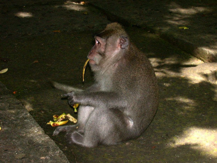man1 - Managing a Difficult Balinese Macaques Relationship