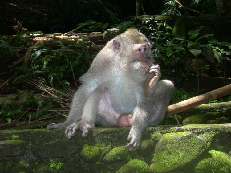 man2 - Managing a Difficult Balinese Macaques Relationship