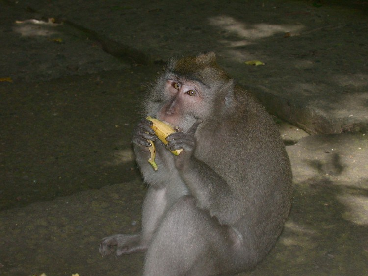 man3 - Managing a Difficult Balinese Macaques Relationship