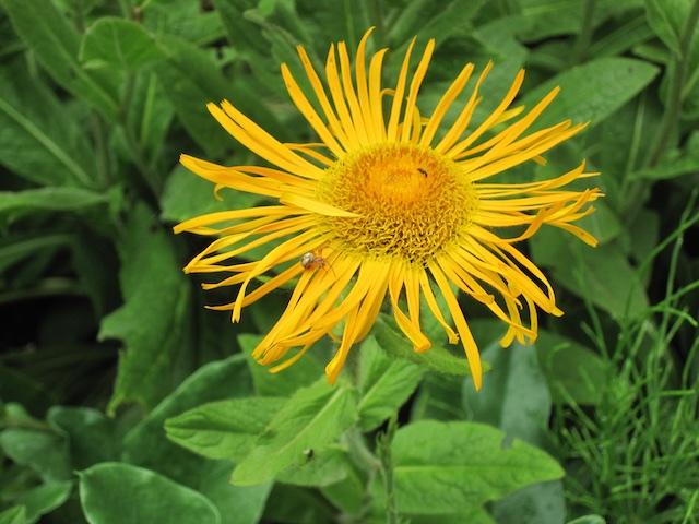 013 - Between a Dandelion and a Daisy: Les Jardins de Métis