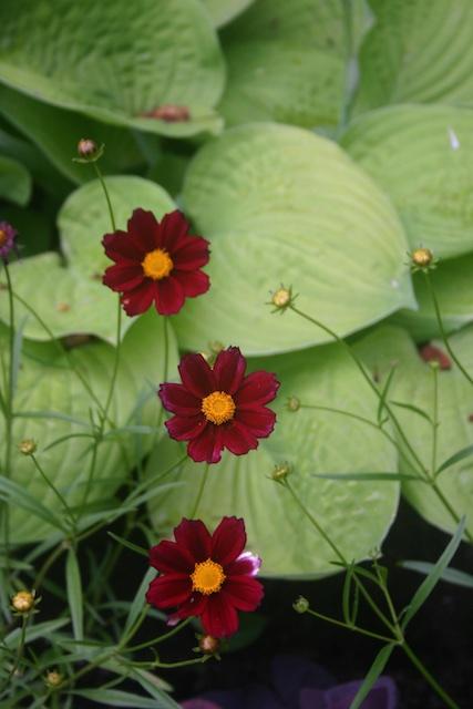 017 1 - Between a Dandelion and a Daisy: Les Jardins de Métis