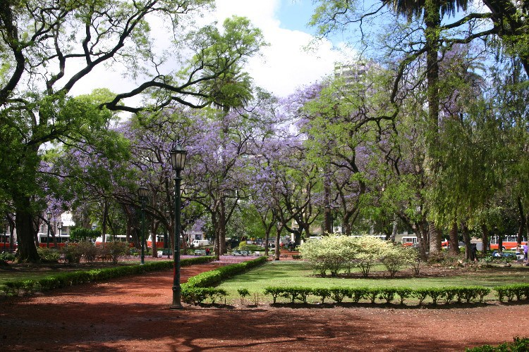 jac1 - Jacarandas in Full Bloom in Buenos Aires