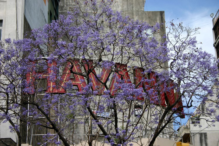 jac4 - Jacarandas in Full Bloom in Buenos Aires
