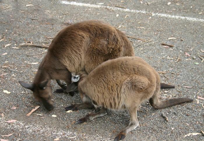 roo17 - Searching for 'Roos on Kangaroo Island, Australia