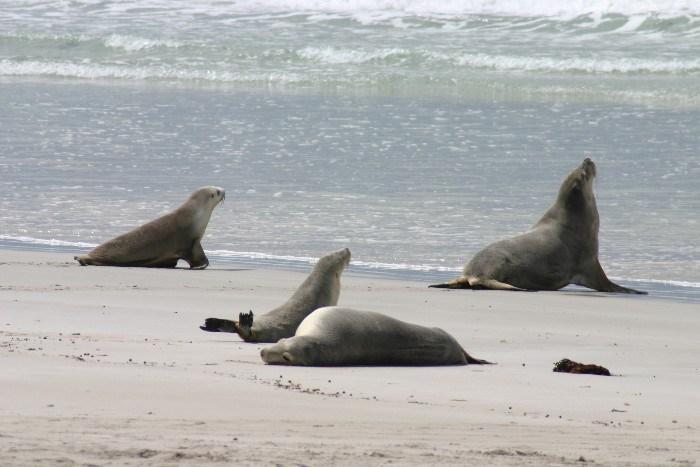 roo8 - Searching for 'Roos on Kangaroo Island, Australia