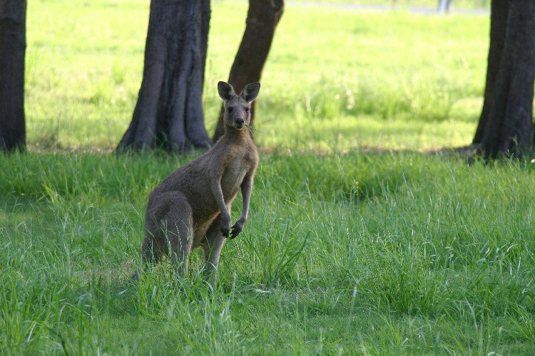 ka6 - Campervans and Kangaroos in Yamba, Australia