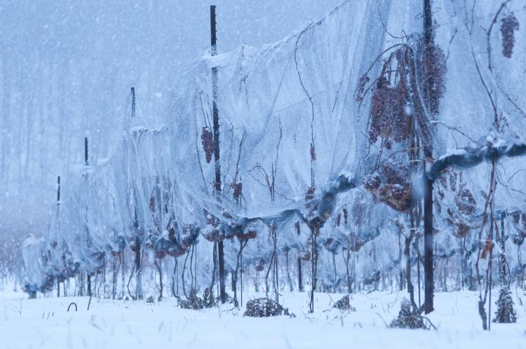 winter vineyard 2 Ont Winter Expedia - Winter in Ontario: Get Out and Play!