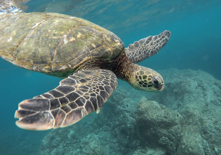 turtle 714x500 - The Cayman Islands – Adventures and Treasures